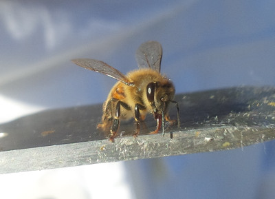 Bee licking honey on a hive tool